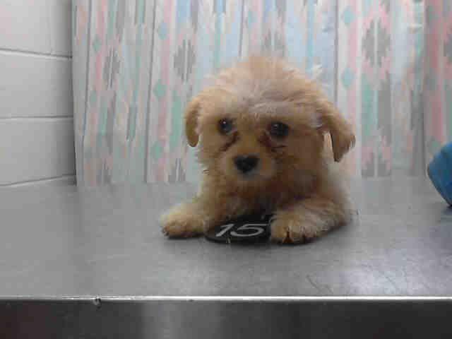 Buffy Houston Texas Petharbor Com Animal Shelter Adopt A
