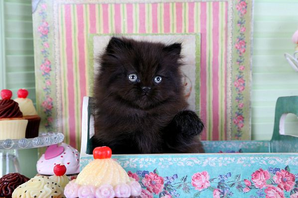 Solid Black Teacup Persian Kitten For Sale Persian Kittens Teacup Persian Kittens Cat Allergies