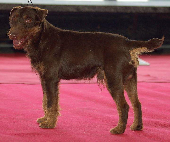 Jagdterrier, Deutscher, German Hunt Terrier, Irish Black