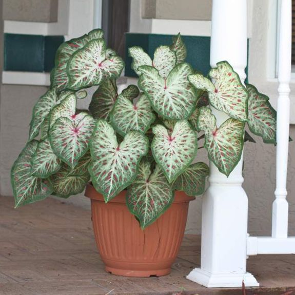 Caladium Gingerland Dwarf Caladiums Are Good Companions For Full