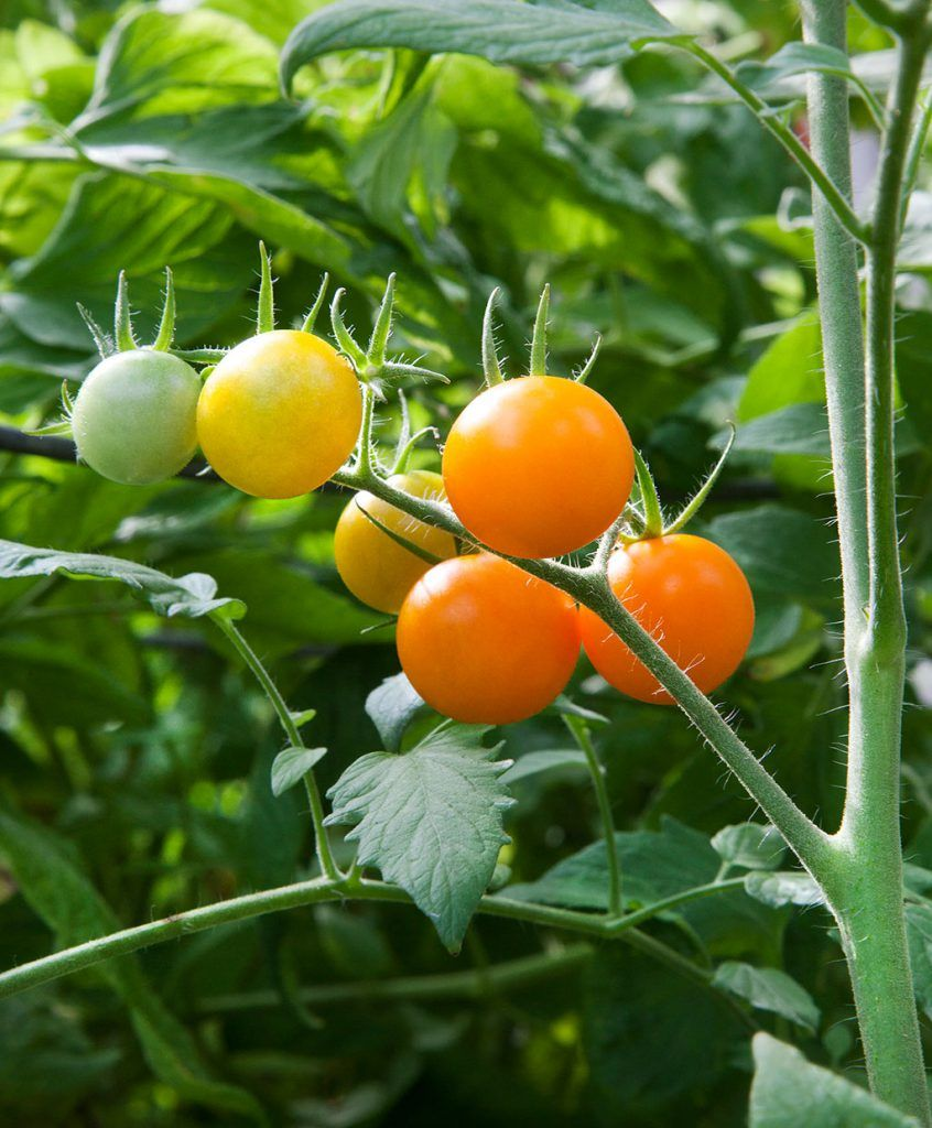 Growing Tomatoes Growing Tomato Plants Tomato Plant 640 x 480