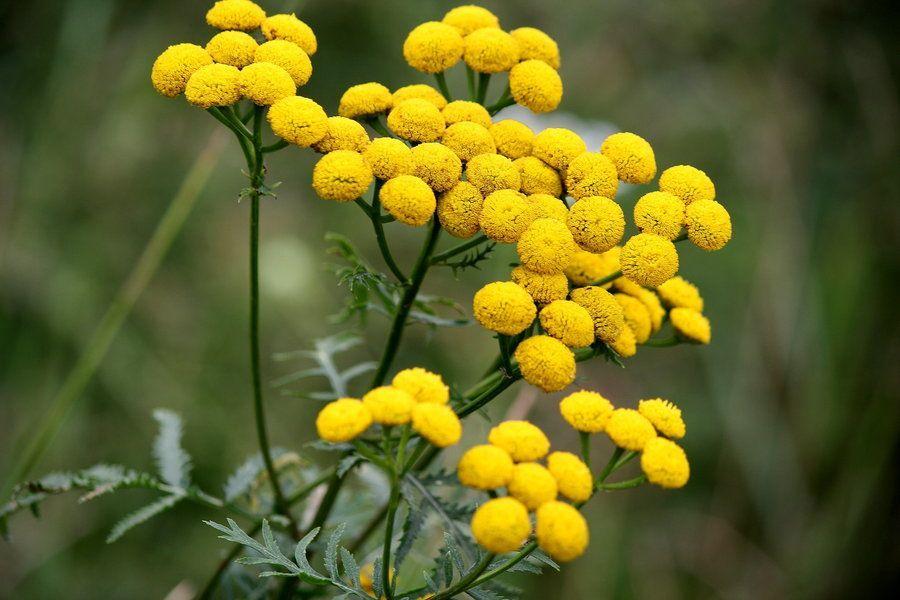 dandelion flori tinctura cu varicoză)