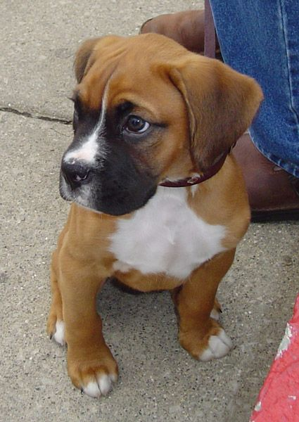 I really want a boxer when I have a house of my own...this one looks so much like mine did as a puppy!    http://puppy-pictures.blogspot.co.uk/2012/02/boxer-puppy-pictures-and-information.html