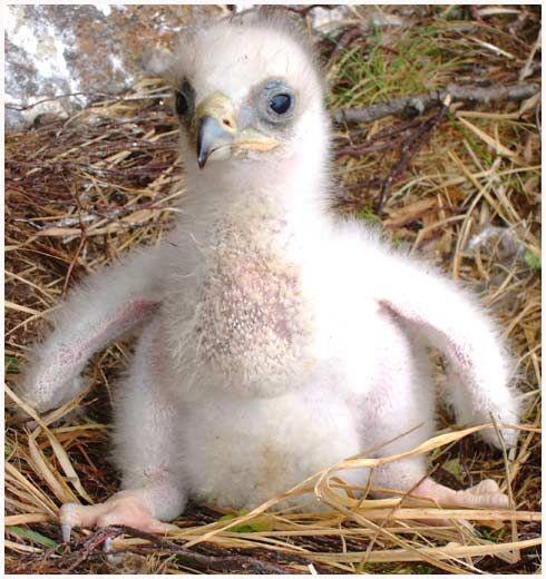 baby birdorable golden eagle
