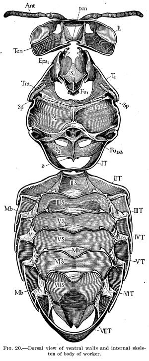 Illustrations from Anatomy of the Honey Bee by R.E. Snodgrass ...