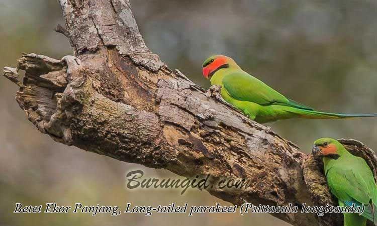 Betet Ekor Panjang Long Tailed Parakeet Psittacula Longicauda Betet Burung Jenis