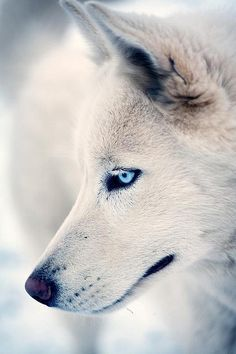 White wolf with vibrant blue eyes #wolf #white