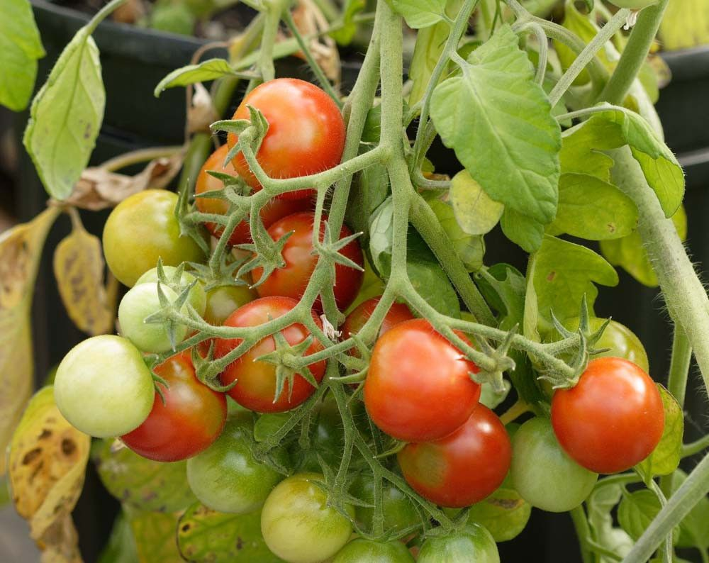 Tomato Tumbler Hanging Tomato 100 Bulk Seeds Prairie 400 x 300