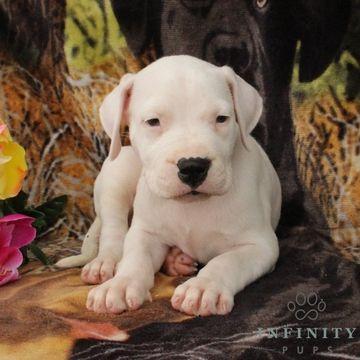 Dogo Argentino puppy for sale in GAP, PA  ADN-34685 on PuppyFinder