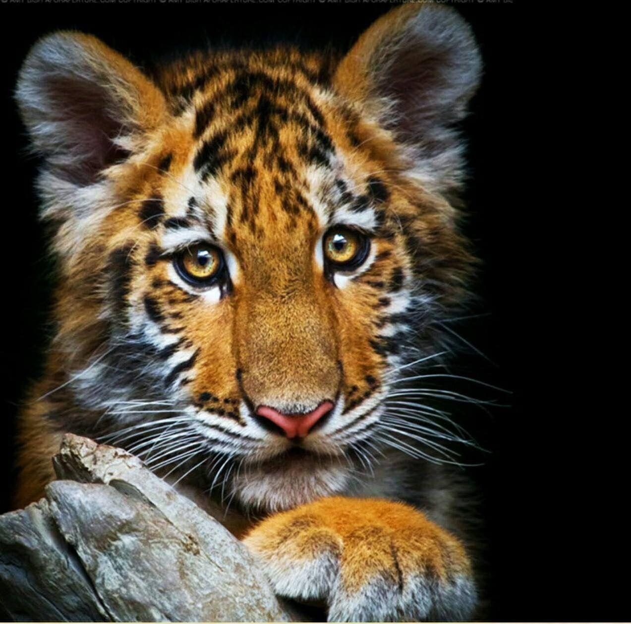 Pin von Jennifer Hutto auf Tigers Süße tiere, Tiere, Katzen