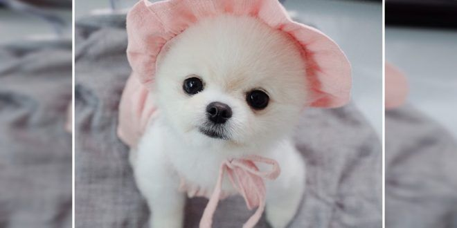 How Much A Pomeranian Puppy Costs In India? Pomeranian