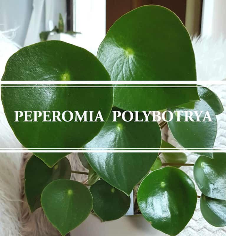 Peperomia Polybotrya The Raindrop Peperomia in 2020