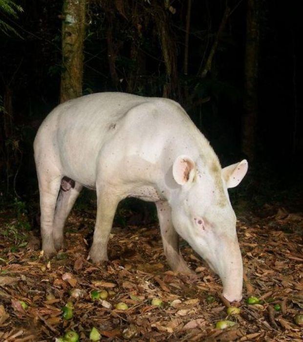 Un Tapir Albino, Fenómeno Muy Poco Común-