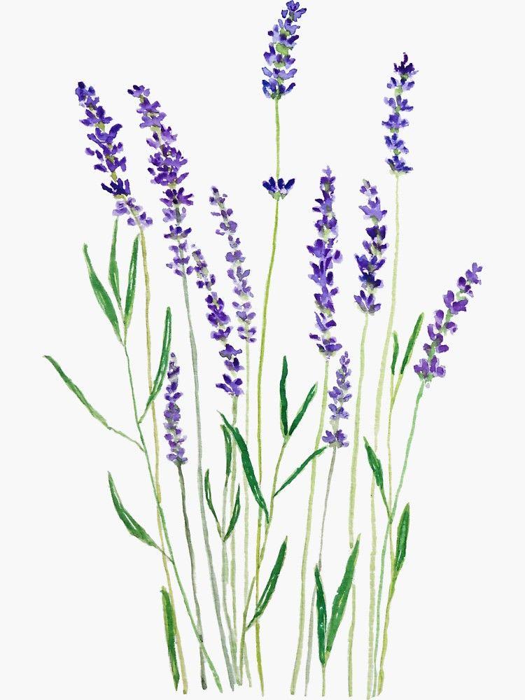Pegatina Lavanda Purpura De Colorandcolor In 2020 Lavender Paint Flower Drawing Lavendar Painting