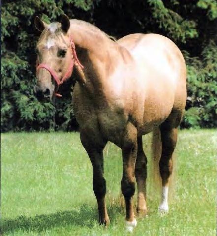 Hollywood Jac 86 1967 Aqha Palomino Stallion Nrha Hall Of Fame