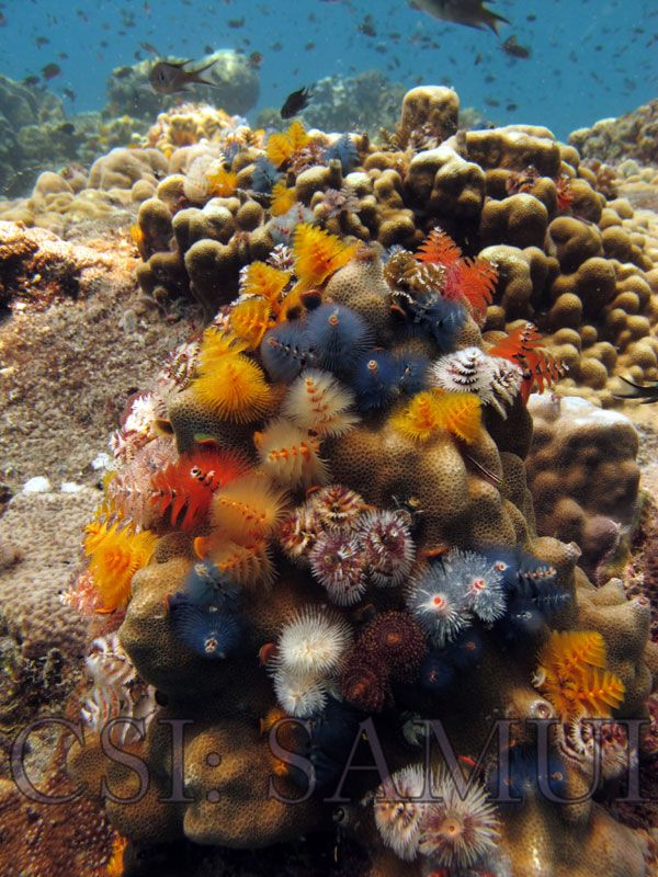 Christmas Tree Worms Csi Samui Ocean Life Koh Samui Thailand Samui