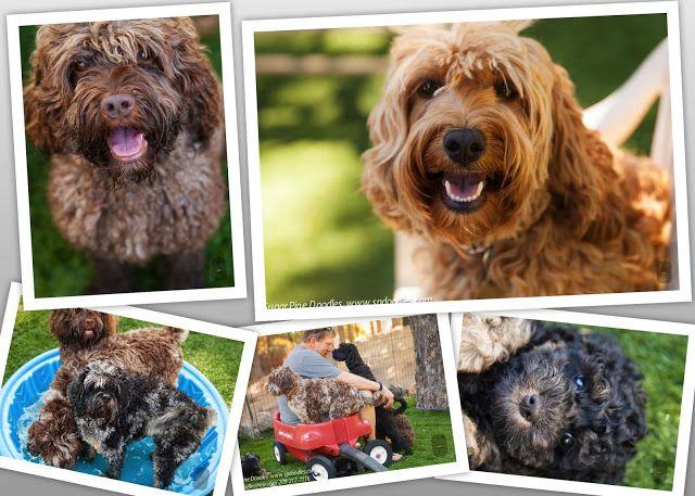 English Bulldog Puppies For Sale In Texas Craigslist