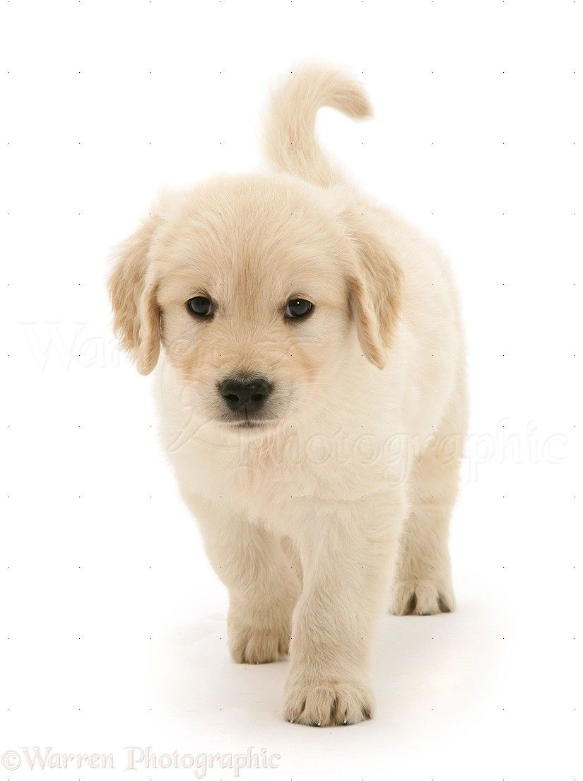 Simple Golden Retriever Chubby Adorable Dog - eddac8c5ef51bbd79a7cdbc61bebc996  Pic_683118  .jpg