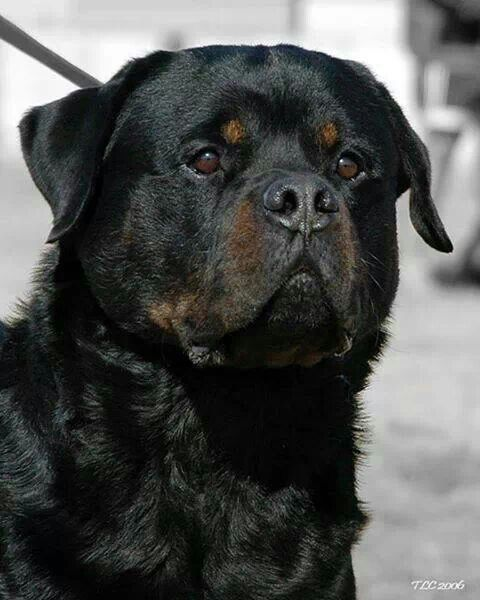 German Rottweiler With A Dark Muzzle Dogs Rottweiler