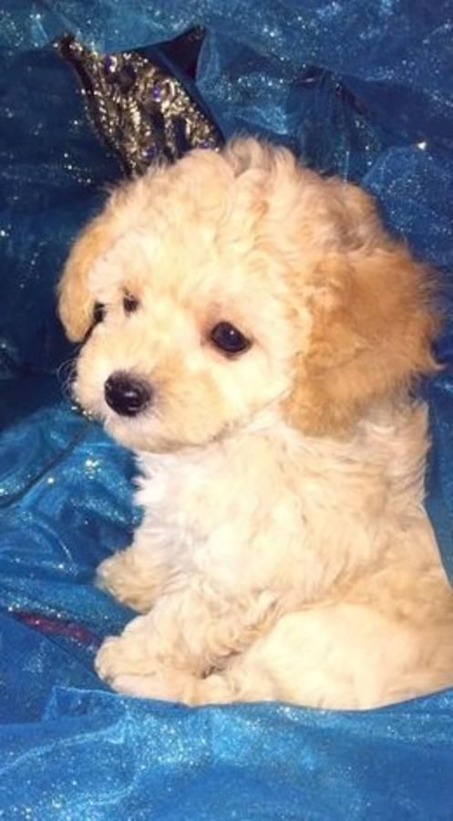 Teacup Maltipoo Puppies Orange, Cream And White Ready Now in