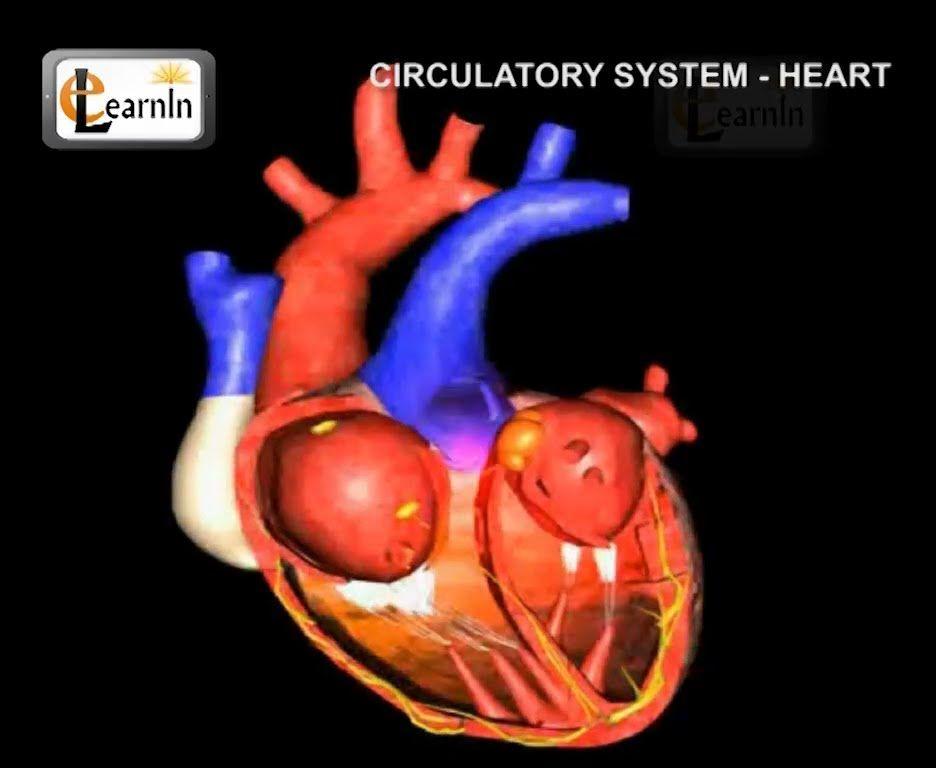 Human circulatory system | Heart working | Human Anatomy and ...