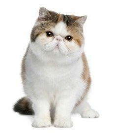 Ver más en todos los tipos de gatos persas
