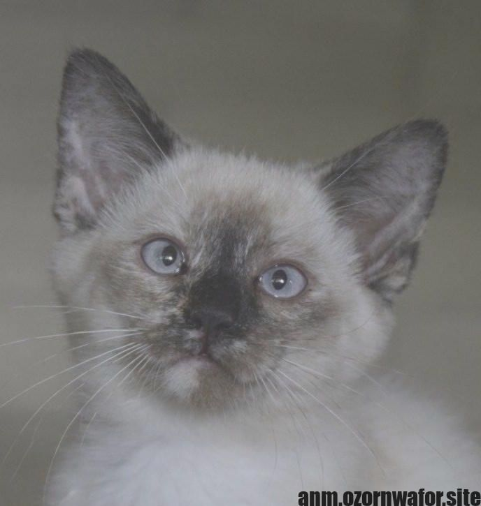 Most current Free of Charge siamese cats ragdoll Style