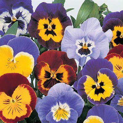 Pansy Joker Mix F2 Flower Landscape Pansies Flower Seeds