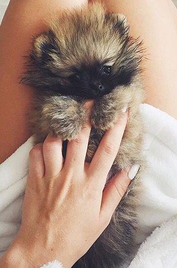 FAV Pomeranian Puppy