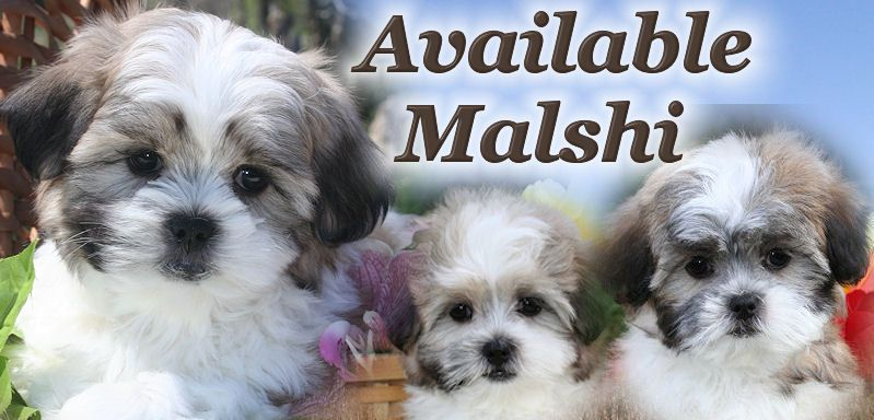 Malshi Puppies For Sale In Illinois Near Chicago Puppies
