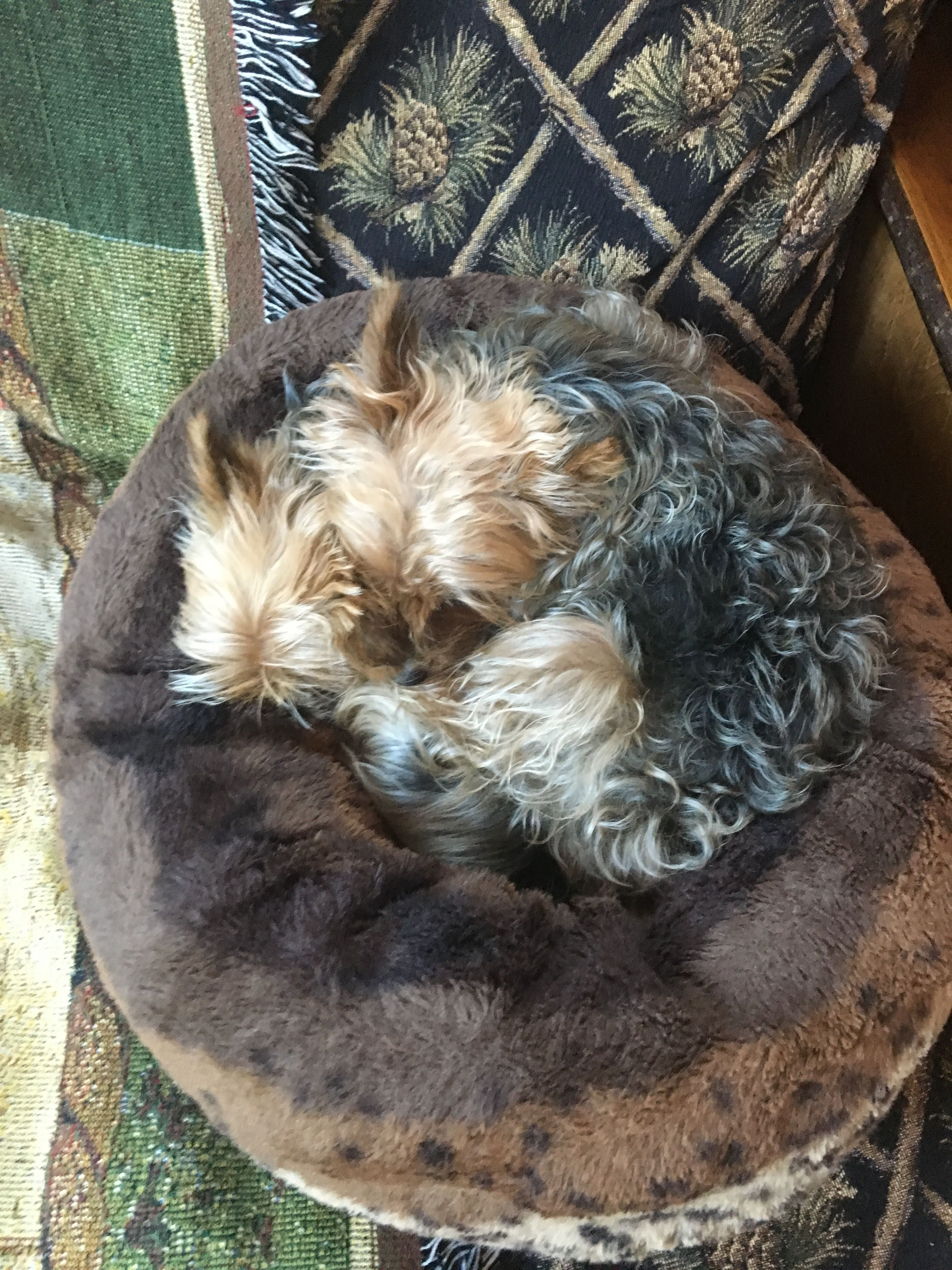 Two Sleeping Yorkies Yorkshire terrier, Yorkie