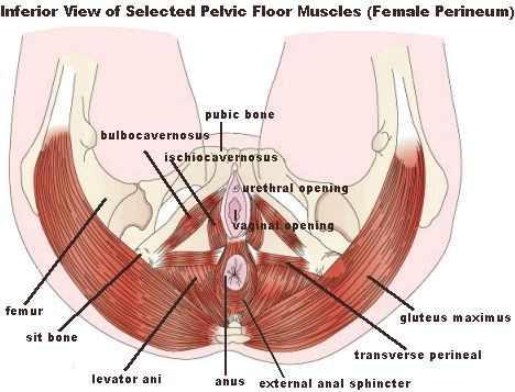 Pelvic Floor Muscle And Nerve Damage Females Left Side Hip And Anus