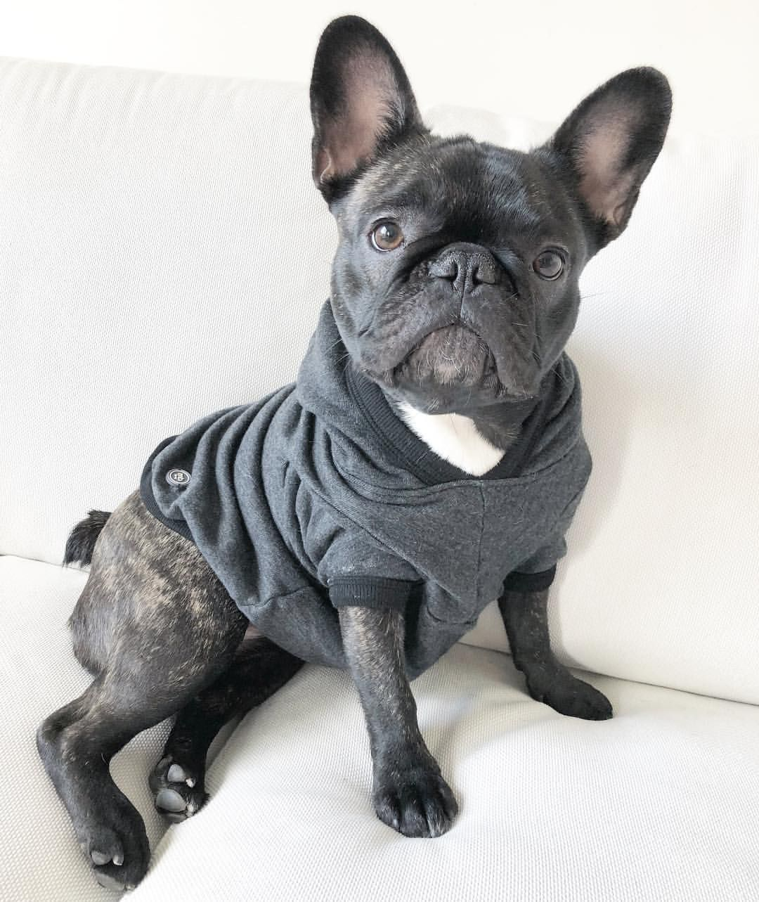 Pin by Todd Damron on Frenchies French bulldog, French