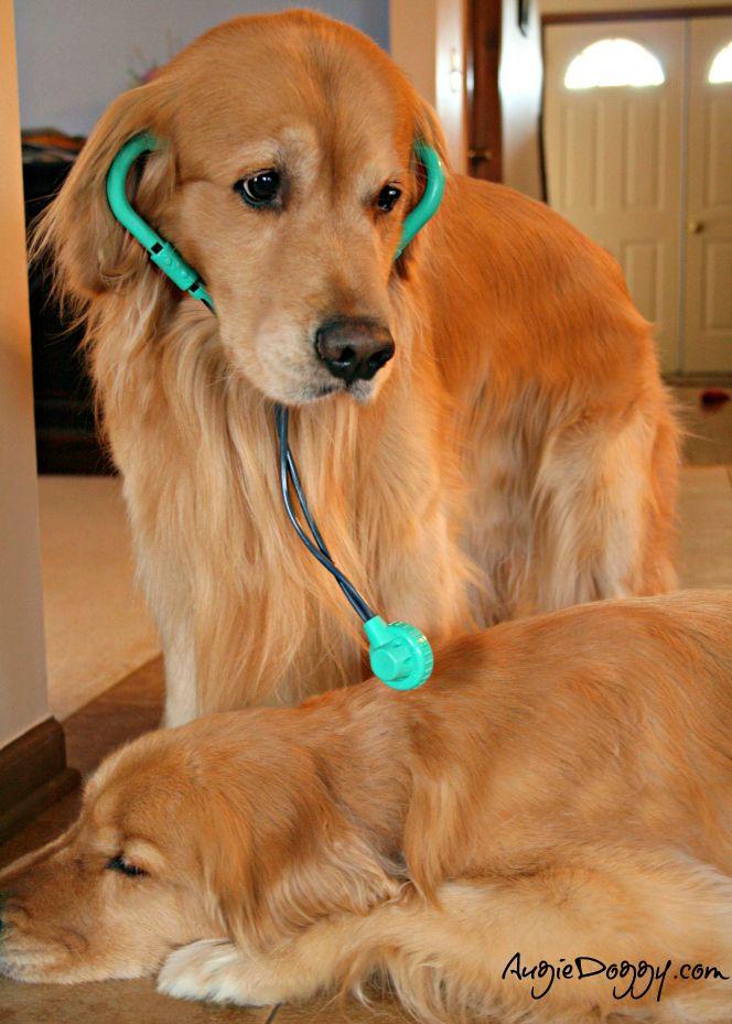 Dr Augie To The Rescue Dog Goldenretriever Golden Retriever