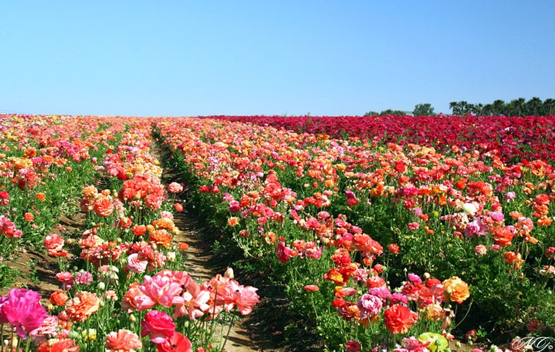 Rows Of Multi Colored Ranunculus At The Flower Fields Carlsbad Flower Fields Flower Field Photography Guidelines