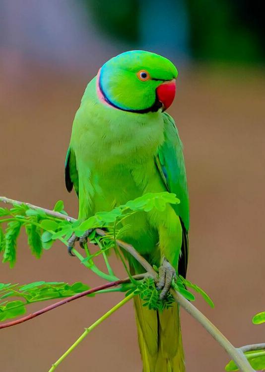 Alexandrine Parakeet Family Psittacidae In a state bird