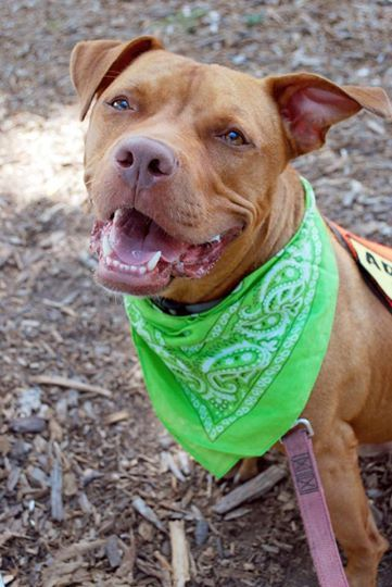 Waldo Is Very Thankful That He Has So Many Friends From The League For Animal Protection Of Huntington Inc In Long Is Bully Breeds Animal Protection Animals