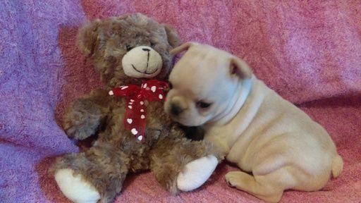French Bulldog Puppy For Sale In Barnett Mo Adn 20877 On