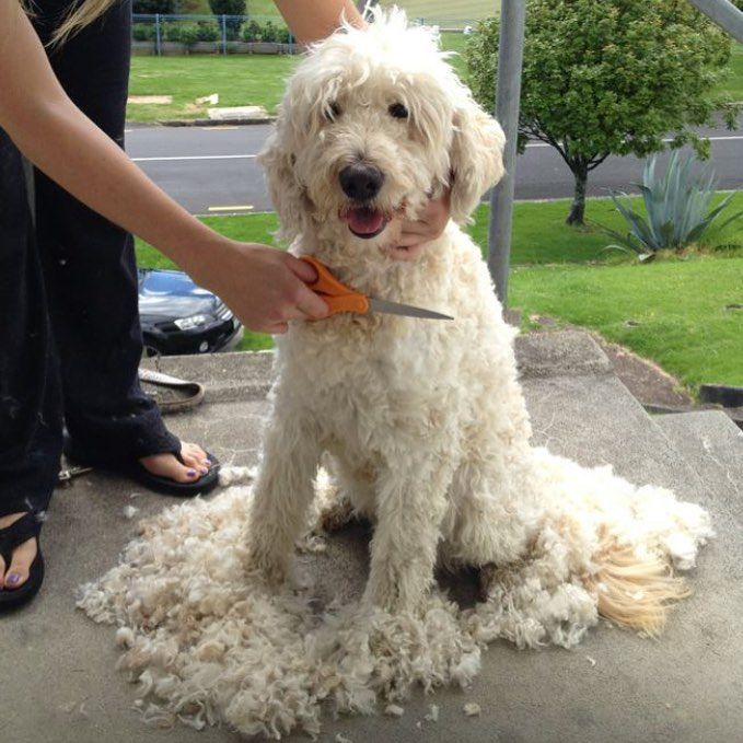 types of goldendoodle haircuts google search diy pin on pet