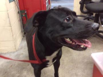 Petango Com Meet 22849397 A 2 Years Retriever Labrador Mix Available For Adoption In Tampa Fl Dog Adoption Dogs Up For Adoption Labrador Mix