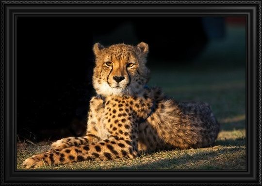 Regal Cheetah basking in the afternoon sun, Western Cape