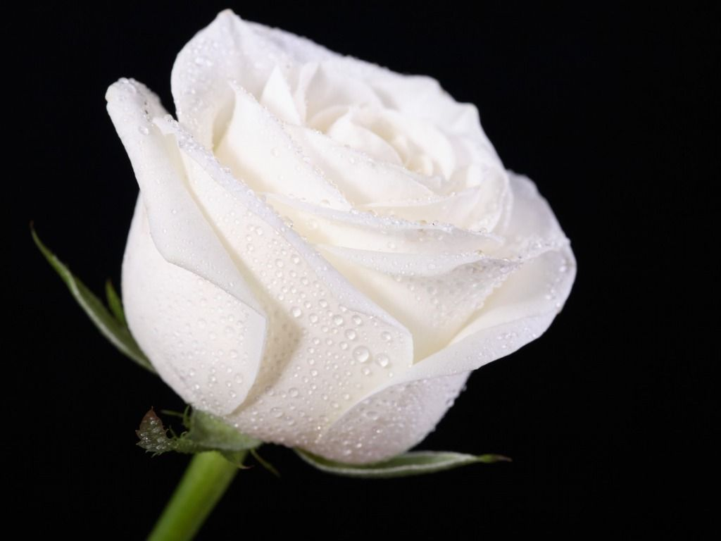 White Rose Wallpaper For Iphone Bru