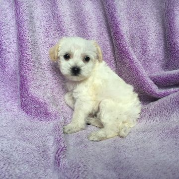 Malchi Puppy For Sale In Houston Tx Adn 30515 On Puppyfinder Com