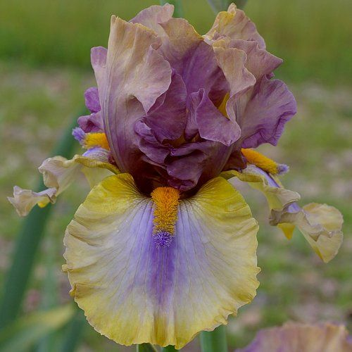 Cayeux Iris - the irirs Specialist for your garden