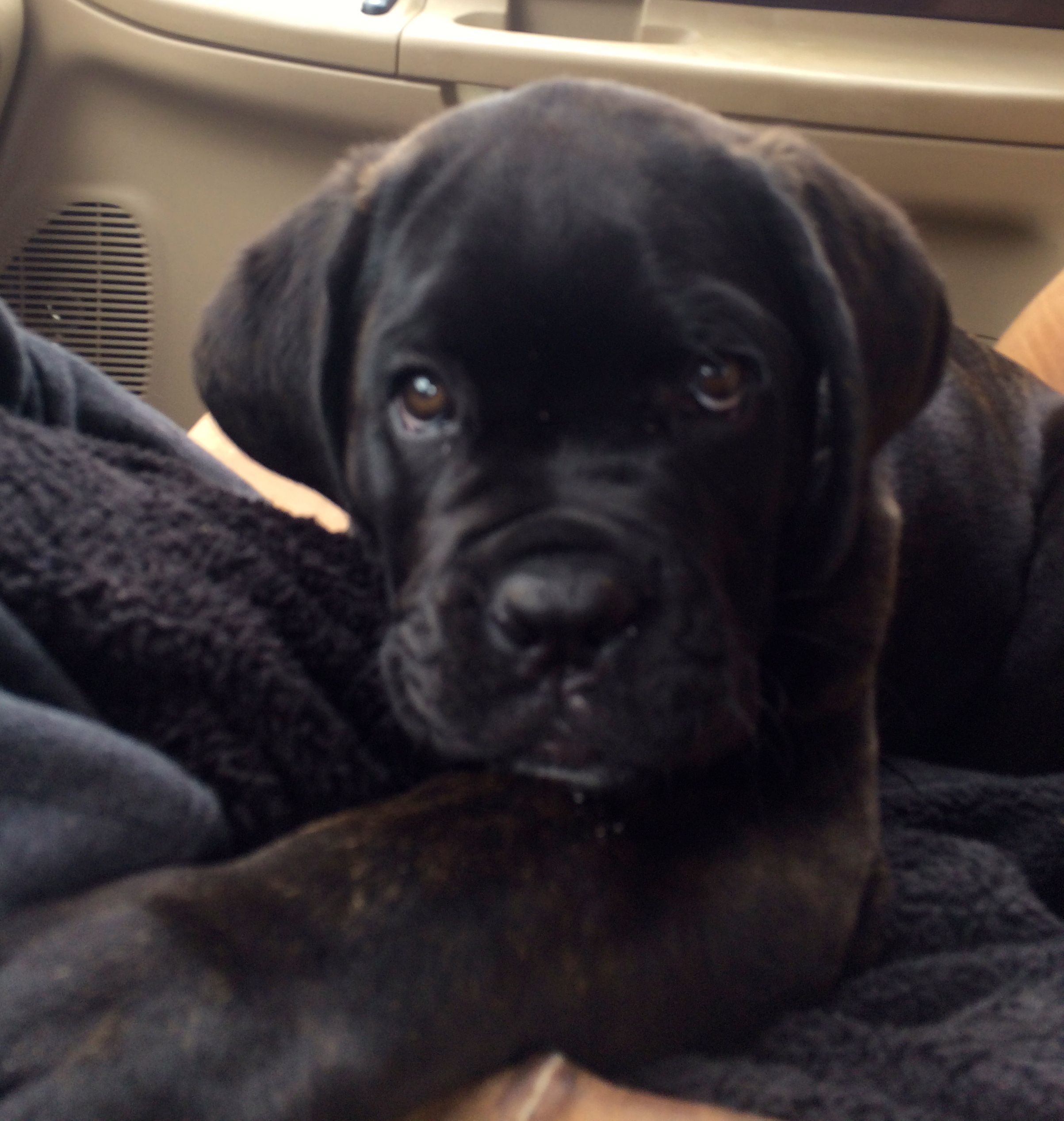 Cane Corso 12 Weeks Old Cane Corso Black Lab Puppies Beast Friends