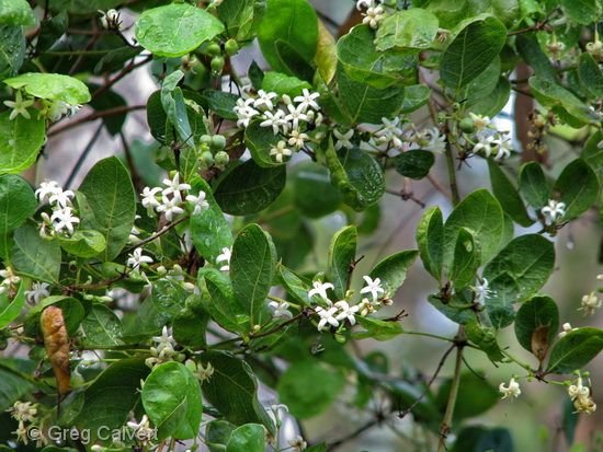 Coeloum Reticulatus Open Shrub With Fragrant Small White Flowers From Late Winter To Early Summer Followed By Dark Berries