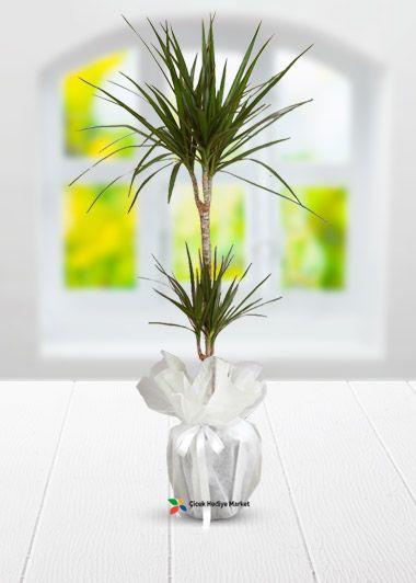 Dracaena Marginita saksı çiçeği bakımı çok kolay ve hiç bir şekilde uğraş gerektirmeyen saksı çiçeğidir.Dracaena Marginita diğer saksı çiçeklerinden daha fazla güneş ışığına ihtiyacı vardır.Sağlıklı gelişmesi ve büyümesi için yeteri kadar güneş ışığı alması gerekmektedir.Haftada bir kez sulanması ve yaprakları fısfıs yardımı ile duşlanması yeterli olacaktır.Hediye ettiğiniz kişiye veya sizlere sadık bir arkadaş olacaktır. cicekhediyemarket.com