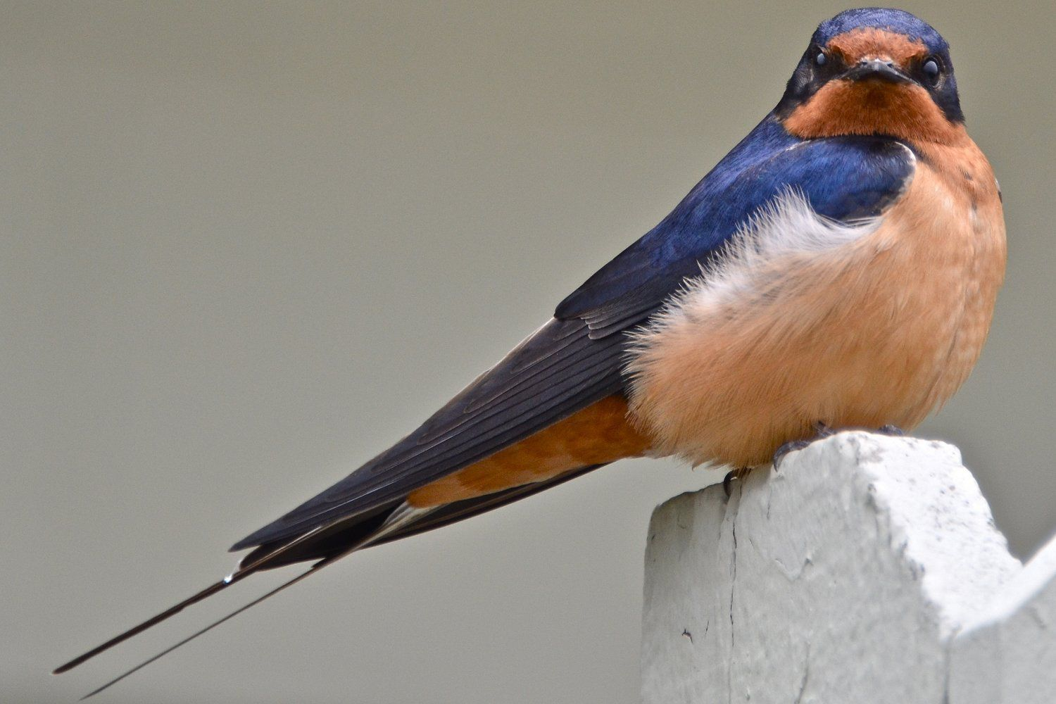 What is the Best Way to Attract Swallows? | Birds, Bird ...