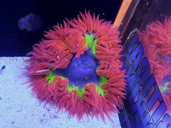 Rock Anemone Underwater Creatures