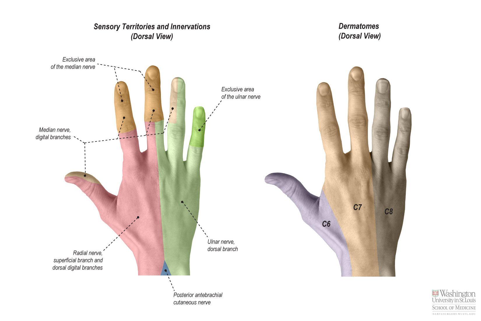 Sensation---Hand-Dorsal---IMG_6132.jpg 1,650×1,100 pixels ...